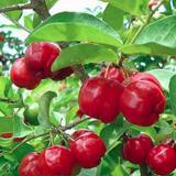 Dimana Beli Tanaman Cherry Vietnam Bibit Tanaman