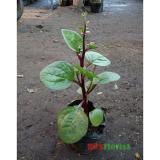 Beli Tanaman Herbal Binahong Merah Gendola Rosflorist Murah