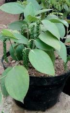 Tanaman Herbal Lada Perdu ( Merica Perdu )