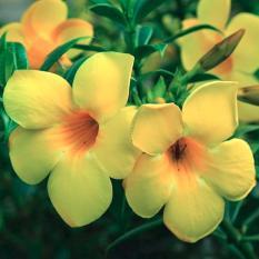 Harga Tanaman Hias Allamanda Kuning Yang Bagus