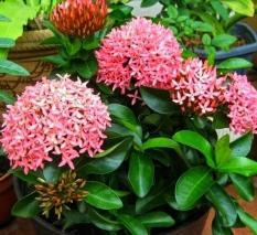 Tanaman Hias Bibit Bunga Asoka/Soka Pink
