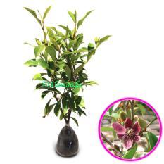 Spesifikasi Tanaman Hias Magnolia Figo Ungu Cempaka Mulia Ungu Yang Bagus