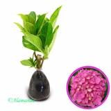 Beli Tanaman Hydrangea Forever Pink Bunga Hortensia Cicilan