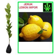Tanaman Jeruk Lemon Impor - Tinggi 40Cm