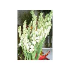 Umbi Bunga Sedap Malam – 250 Gr