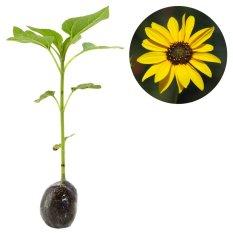 Kebun Bibit Tanaman Bunga Matahari