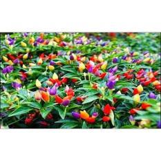 Benih/Bibit/Seeds Bolivian Rainbow Pepper/ Cabe Warna Warni- Cabe Unik - D5D3E9 - Original Asli