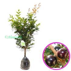 Bibit Anggur Pohon ( JABOTICABA ) 30Cm