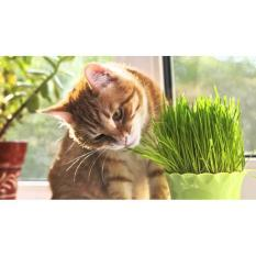 Bibit Benih Biji Wheatgrass Seeds  Wheat Grass Gandum  Rumput Kucing - C69763 - Original Asli