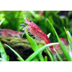 Hiasan Untuk Aquascape Red Cherry Shrimp - B75B3D - Original Asli