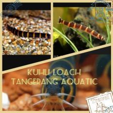 Jual Ikan Unik Untuk Aquascape Kuhli Loach - E6D357 - Original Asli