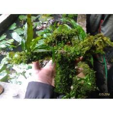 Kayu Atau Akar Di Lapis Moss Full Tanaman Air Aquascape Full Mos - 67Cee6 - Original Asli