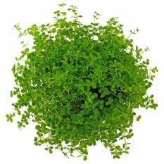 Tanaman Aquascape Micranthemum 'Monte Carlo' - Ab9c95 - Original Asli