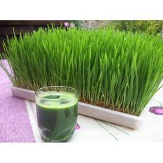Wheatgrass (Gandum) - Dc6d3b - Original Asli