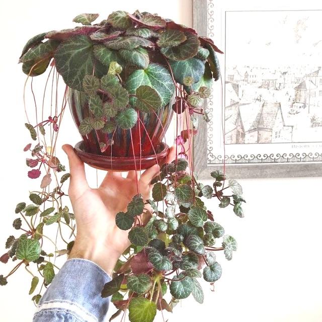 bibit tanaman hias begonia tiger paw