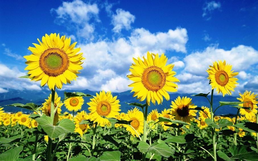 Amefurashi 40 Bibit / Benih Bunga Sunflower Seed Bunga Matahari Kuning By Amefurashi.