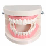Diskon 1 Pack Dari Dental Gigi Gigi Gigi Model Berwarna Merah Muda Daging Standar Oem Hong Kong Sar Tiongkok