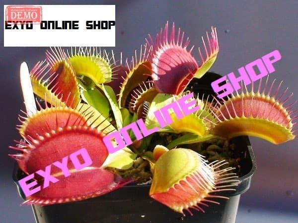 Isi 5 Butir Benih Giant Clip Venus Flytrap Dionaea Muscipula Asli Import By Exyo.