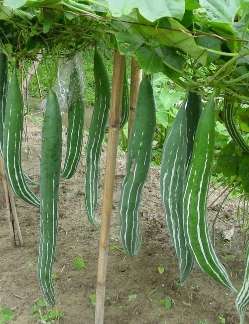 Amefurashi 10 Bibit / Benih / Seed Sayur Pare Belut Mudah Tumbuh Snake Gourd Unique