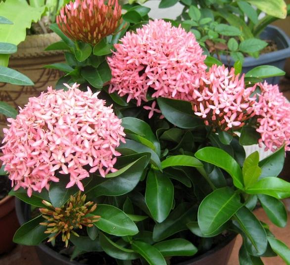 Tanaman Hias Bunga Hidup Bunga Soka Jambon Pink Tanaman Bunga Lazada Indonesia