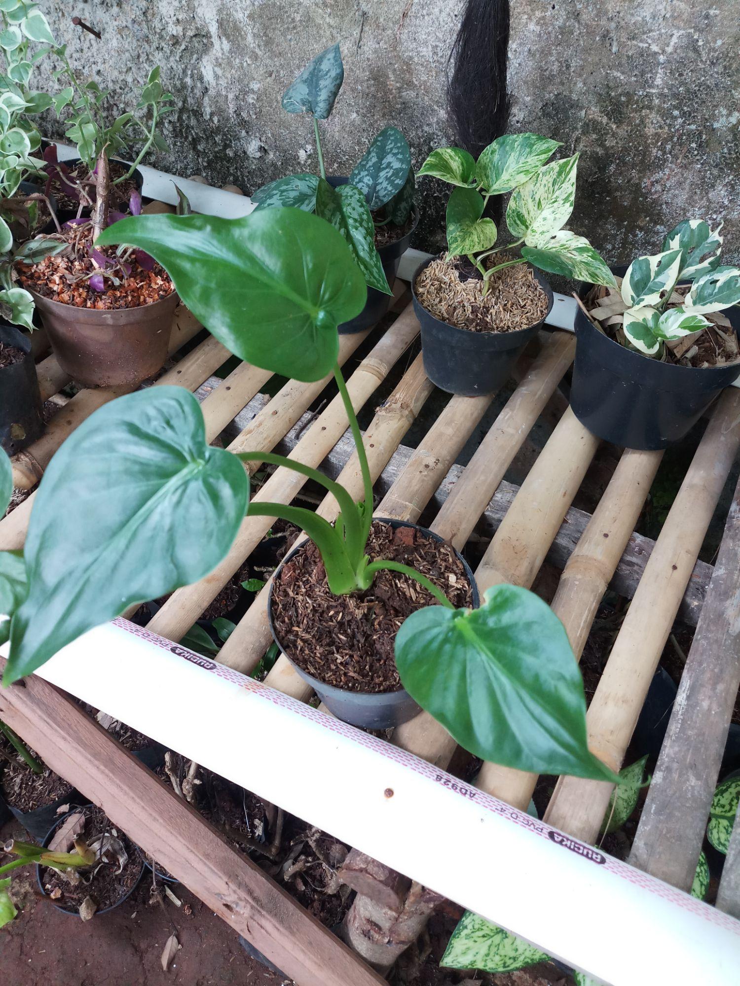 Tanaman Herbal Keladi Tikus Asli Lazada Indonesia