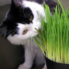 Benih Biji Bibit Rumput Kucing Cat Grass Import UK/Inggris