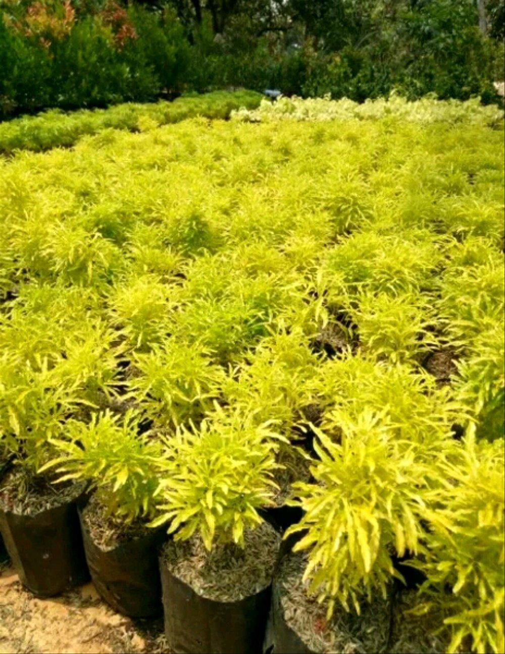 Tanaman Hias Brokoli Kuning Rr Landscape Taman Lazada Indonesia