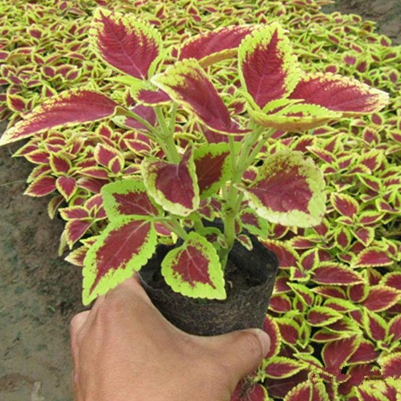 Jual Bibit Tanaman Miana Merah Kuning Tanaman Herbal Daun Miana Pohon Miana Lazada Indonesia