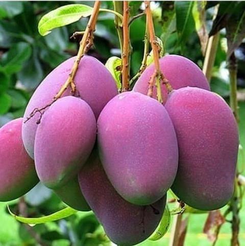 Bibit tanaman buah mangga irwin   Lazada Indonesia