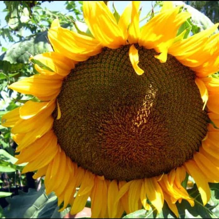 150 Bibit Biji Bunga Matahari Sunflowert Lazada Indonesia