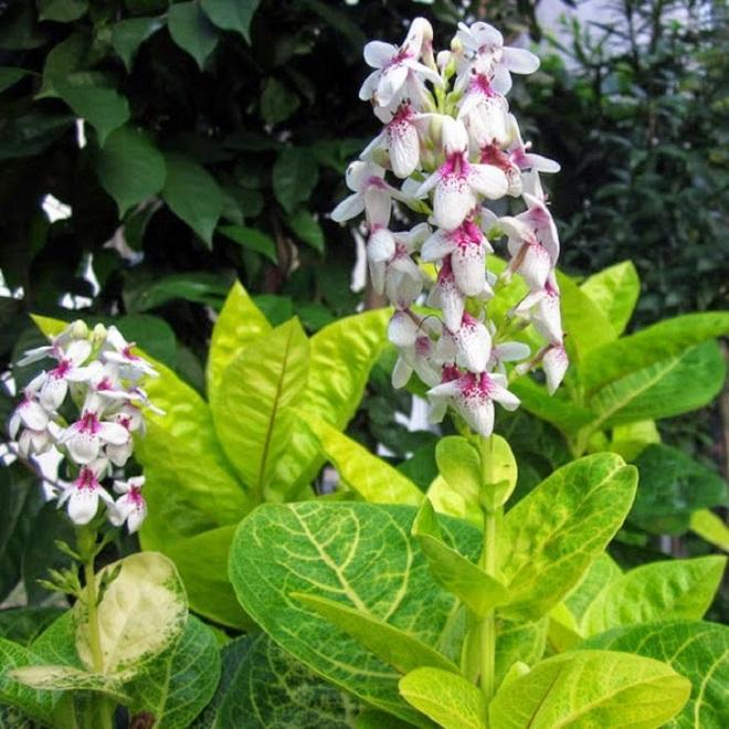 Jual Tanaman Hias Bunga Melati Jepang Pohon Melati Jepang Bunga Putih Lazada Indonesia