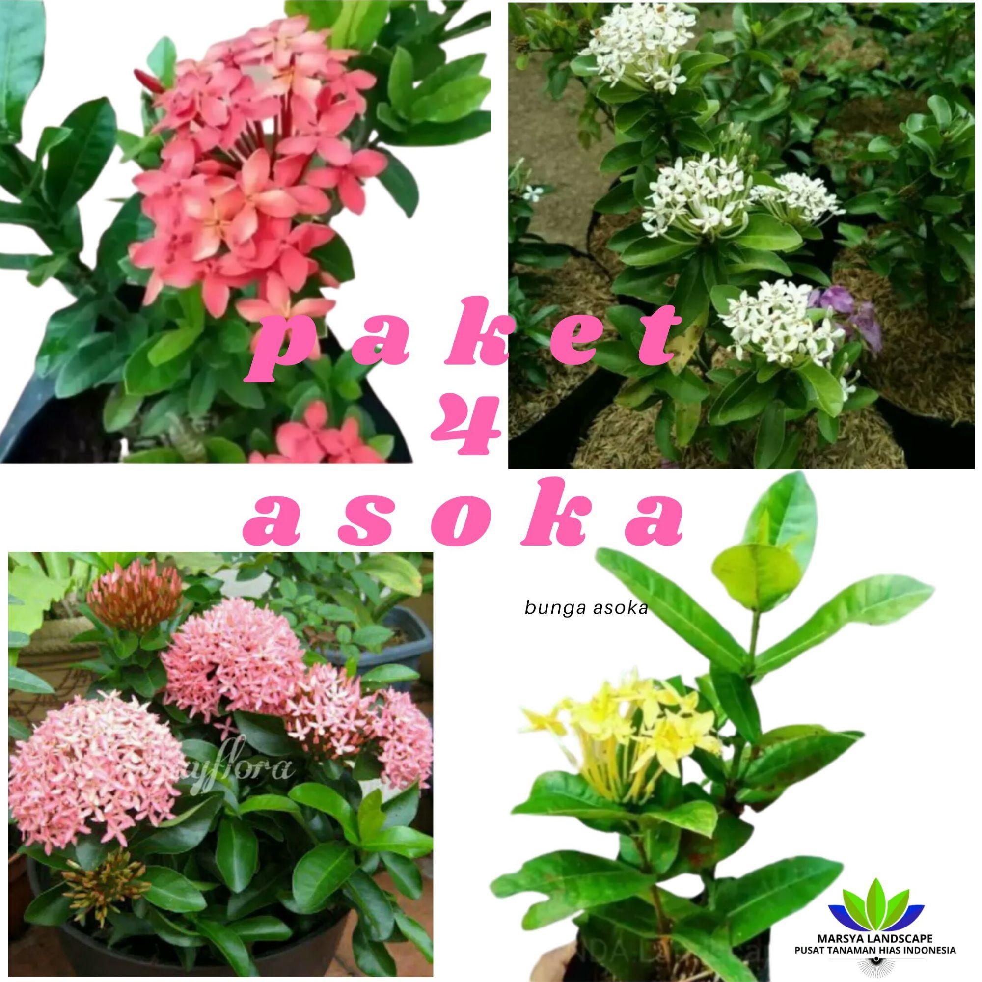 Tanaman Hias Paket Hemat 4 Jenis Bunga Asoka Pink Kuning Merah Putih Lazada Indonesia