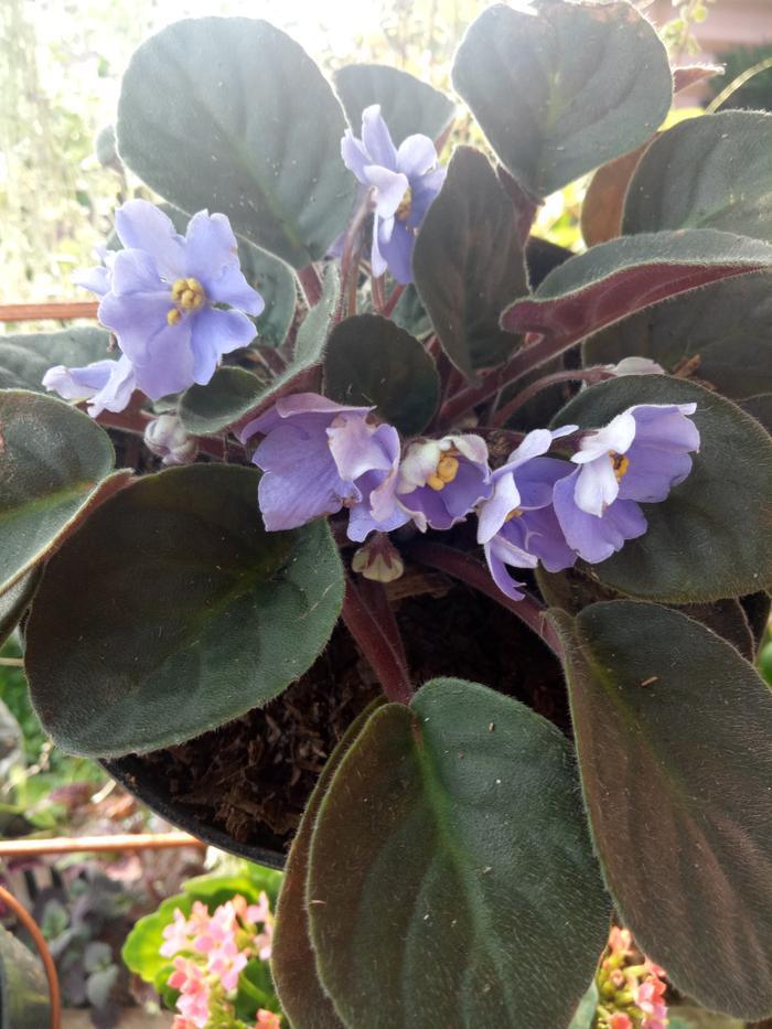 Violces Violet Bunga Violet Tanaman Hias Lazada Indonesia