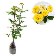 Bibit Bunga Mawar Floribunda Kuning