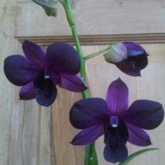 Harga Bibit Tanaman Anggrek Dendrobium 2 Terbaru