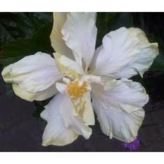 Bibit Tanaman Hibiscus Double Ivory Bangkok