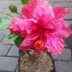 Bibit Tanaman Hibiscus Double Pink Bangkok