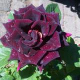 Toko Bibit Tanaman Mawar Hitam Black Rose Bibit Tanaman