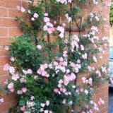 Beli Bibit Tanaman Pink Climbing Rose Mawar Rambat Pink Terbaru