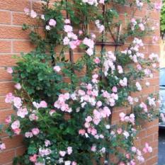 Jual Bibit Tanaman Pink Climbing Rose Mawar Rambat Pink Murah