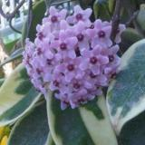 Dapatkan Segera Bibit Tanaman Pink Hoya Variegata
