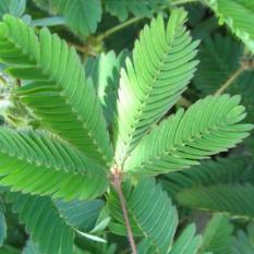 Bibit Tanaman Putri Malu (Sensitive Plant)