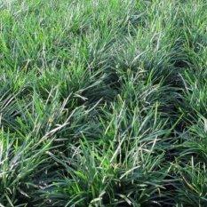 Bibit Tanaman Rumput Kucai Bangkok (Mondo Grass)
