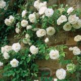 Toko Bibit Tanaman White Climbing Rose Mawar Rambat Putih Terlengkap