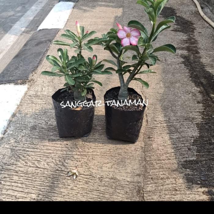 Promo 2 Tanaman Hias Pot Kamboja Jepang Sedia Pot Tanaman Ukuran Besar Lusinan Jumbo 30cm 50cm Hias Hidup Unik Segi Panjang Murah Palsu Kamar Lusinan Kotak Dekorasi Harga Promo Spesial Terbatas Lazada