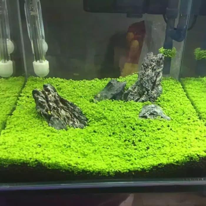 Amefurashi Bibit Benih Small Leaf Grass Carpet Seed Aquascape Aquarium Plant Seed By Amefurashi.