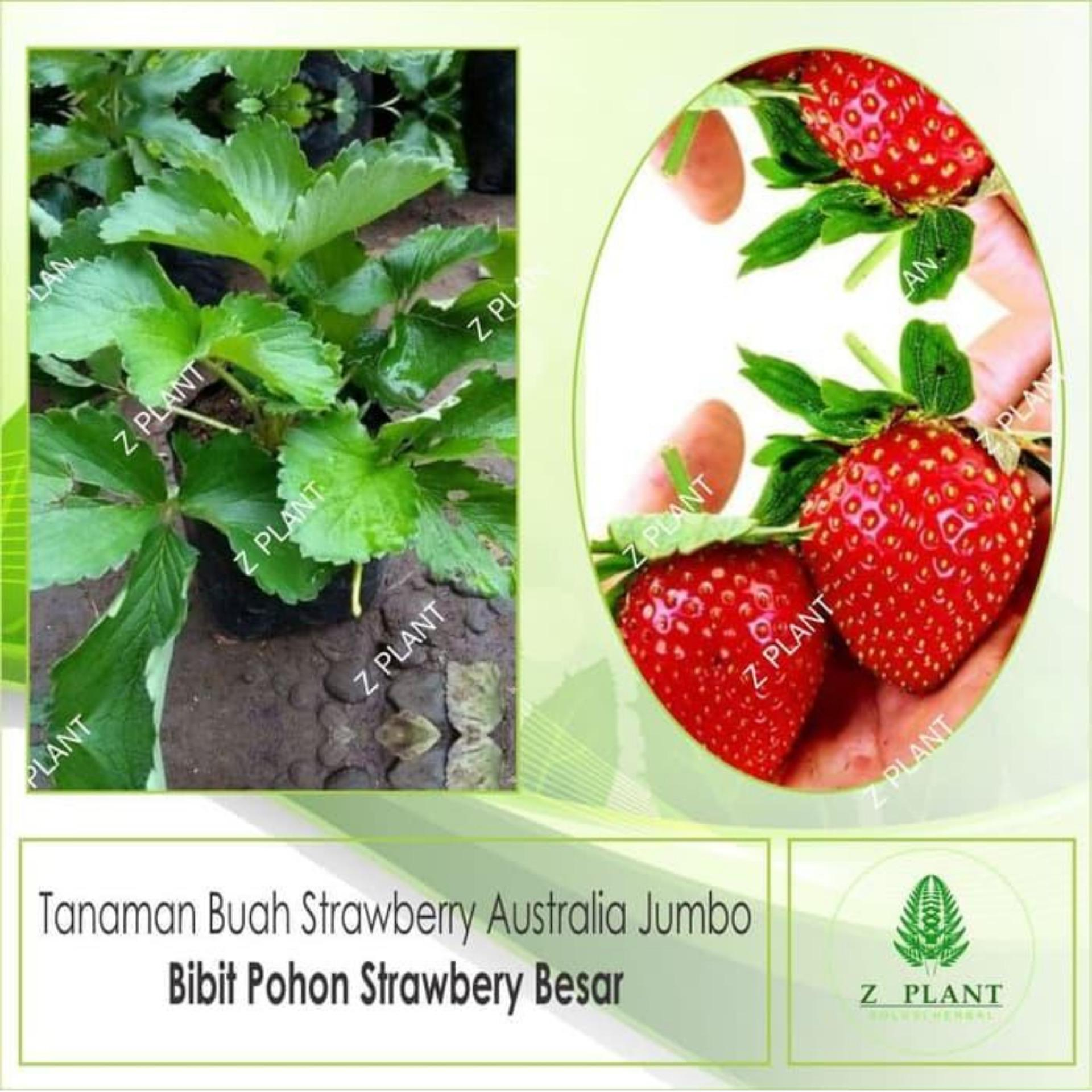 bibit pohon strawberry Australia /jumbo