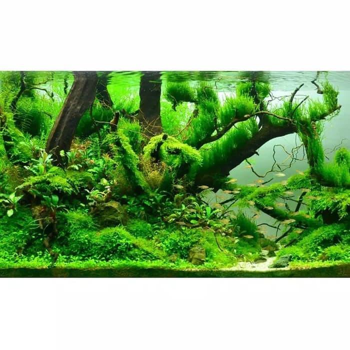 Amefurashi Bibit Benih Cow Leaf Grass Carpet Seed Aquascape Aquarium Plant Seed By Amefurashi.