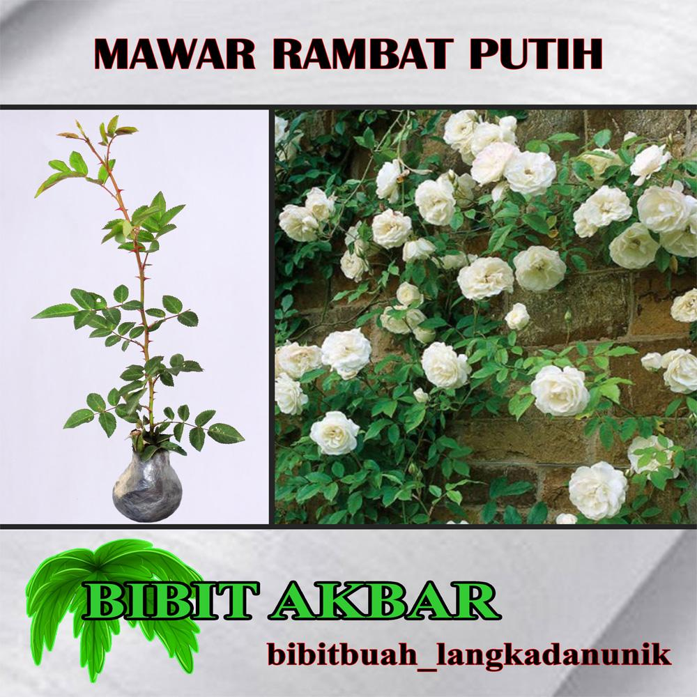 Bibit Tanaman Mawar Rambat Putih