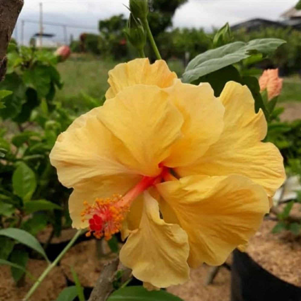 Tanaman Bunga Sepatu Tumpuk Kuning Lazada Indonesia